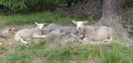Fotogene sauer, Golsffjellet, juli 2003